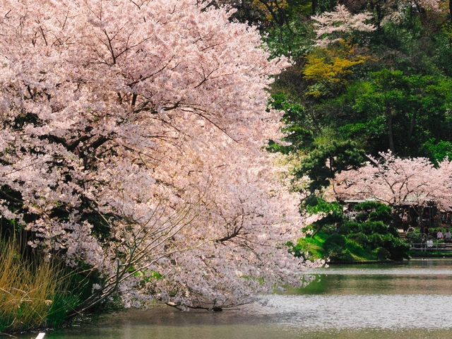 Cherry Blossom Japan Tour - 7 Days Photos