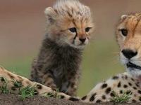 Africa Kenya Masai Mara Cheetah And Cub Shutterstock Gallery