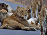 Kruger Park Wildlife Safari