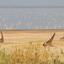 Giraffes And Flamingos At Lake Manyara 640 480