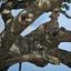 Leopard On A Tree In Serengeti 640 480