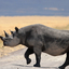 The Rare Black Rhinoceros In Ngorongoro 640 480