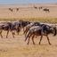 Wildebeesta At Ngorongoro 640 480