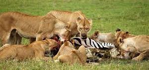 Maasai Mara Kenya Safari Fotos