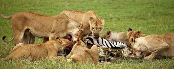 Maasai Mara Kenya Safari Photos