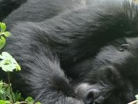 Bwindi Gorilla Safari