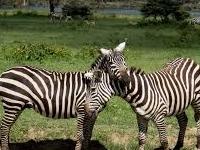 Zebra2-Lake Nakuru National Park