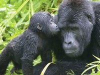 Gorilla Exclusive Experience in Bwindi Forest Park