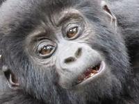Gorilla & Lion Tracking