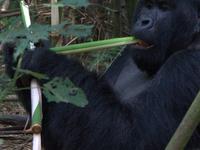 Mountain Gorillas & Nyiragongo Volcano Treks Congo Safari