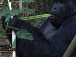 Mountain Gorillas & Nyiragongo Volcano Treks Congo Safari Photos