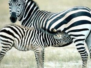 Diamond Class; 15 Days Kenya Wildlife with a Touch of Sun & Sand Photos