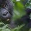 Gorilla Tracking Rwanda 1920x1080