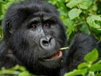 Best Offer for Bwindi Impenetrable Forest Gorilla Trekking
