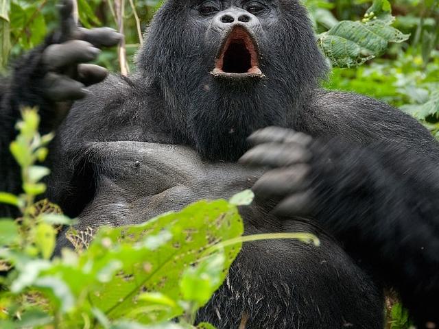 Gorilla Trekking in Uganda Photos