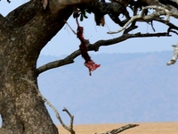 Hungry Leopard Climbing Tree