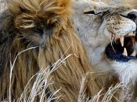 Male Lions Serengeti 2