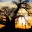 Giraffe Stock Photo Spectacular Sunset With Baobab And Giraffe On African Savannah 106355684