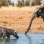 Zebra And Ele
