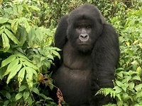 Ultimate Rwanda Gorillas and Chimpanzee Safari