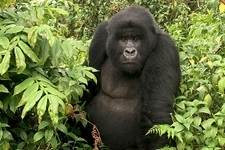 Ultimate Rwanda Gorillas and Chimpanzee Safari Photos