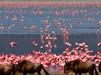 Flamingo And Wildebeest At Ngorongoro Crater