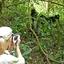 Gorilla Viewing Sanctuary Gorilla Forest Camp 60531