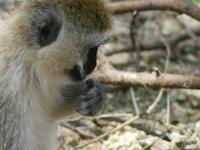 Monkey At Tarangire National Park