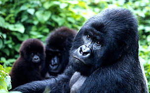 Gorilla Tracking in bwindi Photos