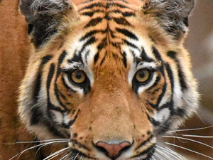 Pench Tiger Reserve - Madhya Pradesh Fotos