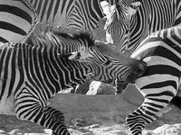 Mountain Zebras