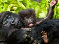 Gorilla Tracking in Bwindi (E.Africans Only)