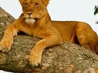 Uganda Game Safari