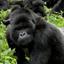 Gorilla In Uganda: Kubwa Five Safaris
