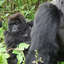 Mountain Gorilla: Kubwa Five Safaris