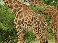 Pentagon Safari: Murchison Falls and Bwindi Gorillas