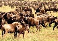 Wildbeest Kubwa Five Safaris