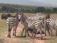 Masai Mara - Lake Nakuru Lodge Safari (Wildlife Safari)