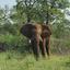 Elephant Staring