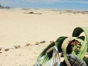 Moon Landscape & Welwitschia Plains Photos