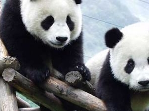 3 Days Chengdu Panda Breeder Camp Explore Tour
