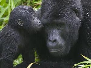 Chimpanzee Trekking And Gorilla Tracking Photos