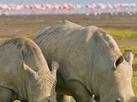 Rhinos In Lake Nakuru National Park