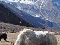 Yakes Chewing Grass-Everest Trekking