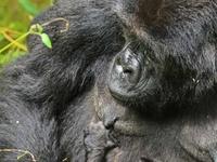Six Days Gorilla Safari