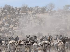 Zebra Migration day trip Makgadikgadi National Park Fotos