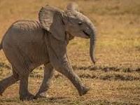 Baby Elephant In Mara