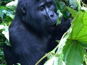Gorilla Trekking Photos