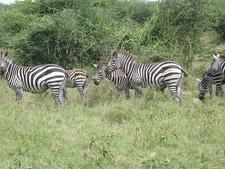 Burcelles Zebra At Nech Sar National Park