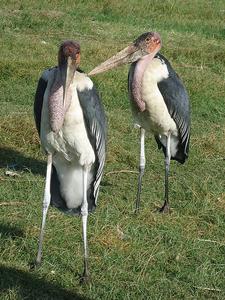 Marabou Stork At Hawassa